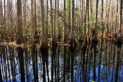 Florida Swamp Posters - Beautiful Day in the Cypress Swamp Poster by Carol Groenen