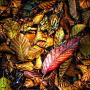 Wet Leaves Framed Prints - Beautiful Fall Color Framed Print by Meirion Matthias