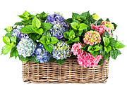 Delivery Flowers Prints - Beautiful Flowers in Basket Print by Boon Mee