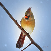 Cardinals. Wildlife. Nature. Photography Photos - Beautiful Frosty by Nava Jo Thompson