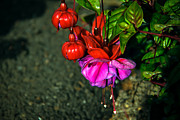 Baskets Posters - Beautiful Fuchsia Poster by Robert Bales