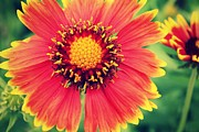 Janaye Book - Beautiful Gaillardia