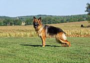 Shepherds Photo Posters - Beautiful German Shepherd Poster by Sandy Keeton