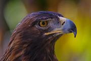 Garry Gay - Beautiful Golden Eagle