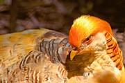 Adam Jewell - Beautiful Golden Pheasant