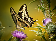 Cheryl Baxter Metal Prints - Beautiful Golden Swallowtail Metal Print by Cheryl Baxter