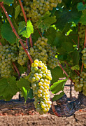 White Grape Prints - Beautiful Grapes from wine vineyards in Napa Valley California. Print by Jamie Pham