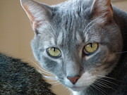 Cherie Sky - Beautiful Gray Cat