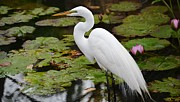 Janice Spivey - Beautiful Great Egret