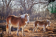 Wild Horses Framed Prints - Beautiful Horses Framed Print by James Bo Insogna