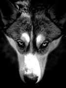 Watch Dog Photo Framed Prints - Beautiful Husky Framed Print by Karen Lewis