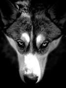 Beautiful Husky Print by Karen Lewis