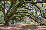 Oaks Photo Prints - Beautiful Live Oaks Print by Walt  Baker