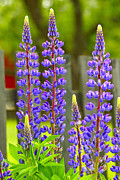 Color Green Originals - Beautiful Lupines by Tommy Hammarsten