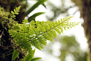 Epiphyte Posters - Beautiful lush tropical fern plant on a tree  Poster by Santhosh Kumar