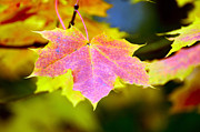 Orangem Tree Photos - Beautiful maple leafs by Tommy Hammarsten