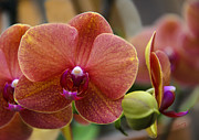 Penny Lisowski - Beautiful Moth Orchid