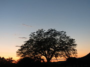 Jodie  Scheller - Beautiful Oak Sunset