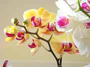 Flora Framed Prints Photos - Beautiful Orchids Floral art Prints Orchid Flowers by Baslee Troutman Fine Art Floral Photography