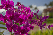 Polo Photos - Beautiful Orchids on Polo Beach Wailea Maui Hawaii by Sharon Mau