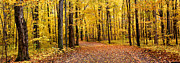 Autumn Leaf Pyrography Posters - Beautiful Panoramic Golden Forest Poster by Boon Mee