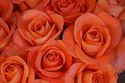 Abstract Roses Posters - Beautiful peach roses 1 Poster by Carol Lynch