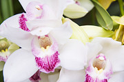 Daphne Sampson - Beautiful Phalaenopsis...
