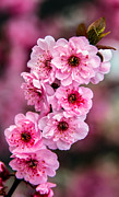 Plant Greeting Cards Art - Beautiful Pink Blossoms by Robert Bales
