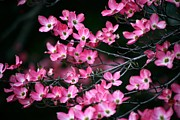 Tree Blossoms Paintings - Beautiful pink dogwood blossoms by Lanjee Chee