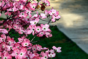 Cornus Prints - Beautiful Pink Dogwood Print by Robert Bales