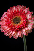 Garry Gay - Beautiful  Pink Gerbera