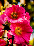 Blurred Background Prints - Beautiful Pink Hollyhock Print by Robert Bales