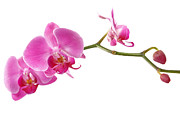 Border Pyrography Metal Prints - Beautiful Pink Orchids Metal Print by Boon Mee