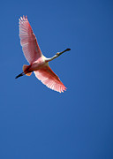 Beach Photo Posters - Beautiful Pink Roseate Spoonbill Poster by Sabrina L Ryan