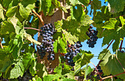 Grape Vineyards Prints - Beautiful Purple Grapes from wine vineyards in Napa Valley California. Print by Jamie Pham