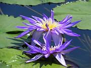 Beautiful Purple Lilies Print by Chrisann Ellis