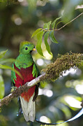 My Sold Greeting Cards - Beautiful Quetzal 1 by Heiko Koehrer-Wagner