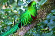 Forest Bird Posters - Beautiful Quetzal 2 Poster by Heiko Koehrer-Wagner