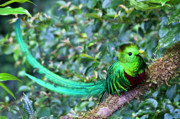 Central America Metal Prints - Beautiful Quetzal 3 Metal Print by Heiko Koehrer-Wagner