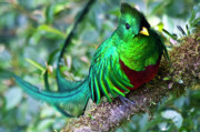 Central Acrylic Prints - Beautiful Quetzal 4 Acrylic Print by Heiko Koehrer-Wagner