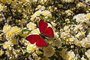 Reds Prints - Beautiful red butterfly Print by Garry Gay