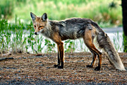 Bushy Tail Photos - Beautiful Red Fox by Robert Bales