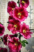 Blurred Background Prints - Beautiful Red Hollyhock Print by Robert Bales