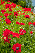 Online Flower Shop Posters - Beautiful Red Poppies  flower Poster by Boon Mee