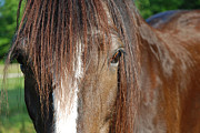 Bay Horse Metal Prints - Beautiful Shire Metal Print by Jennifer Lyon