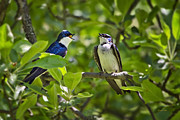 Animals Love Prints - Beautiful Singing Tree Swallows Print by Christina Rollo