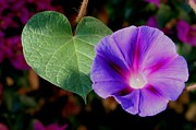 11th Green Photos - Beautiful Single Morning Glory Flower and Leaf by Tracey Harrington-Simpson