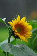 Wanda Jesfield - Beautiful Sunflower