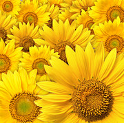 Designer Pyrography - Beautiful sunflowers closeup by Boon Mee