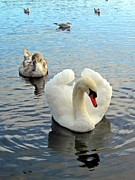 Lilroseann Photography Prints - Beautiful Swan and Cygnet Print by LilRoseann Photography
